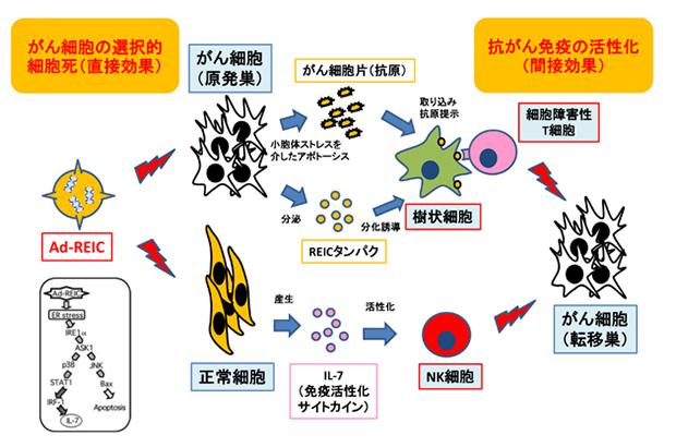 杏林製薬研究_悪性腫瘍に対するREIC/Dkk-3遺伝子治療